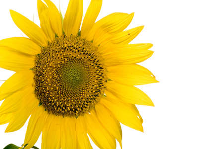 Sunflower blossom photo