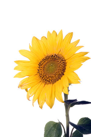 Sunflower blossom photo