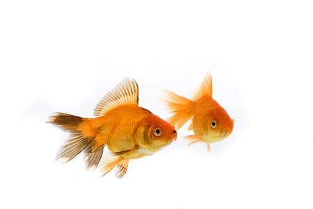 High quality, isolated image of a goldfish on a white background Stock Photo - 3866859