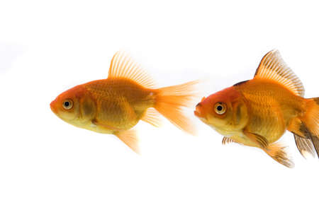 High quality, isolated image of a goldfish on a white background Stock Photo - 3866881