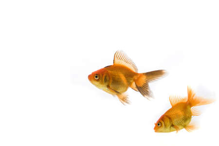 High quality, isolated image of a goldfish on a white background Stock Photo - 3866818