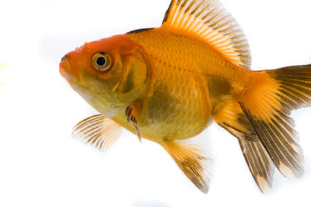 High quality, isolated image of a goldfish on a white background Stock Photo - 3866960