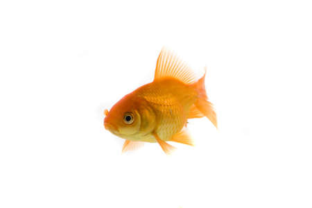 High quality, isolated image of a goldfish on a white background Stock Photo - 3866791