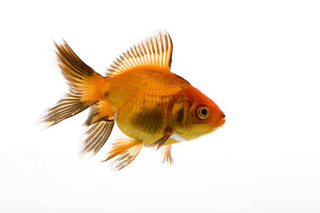 High quality, isolated image of a goldfish on a white background Stock Photo - 3866887