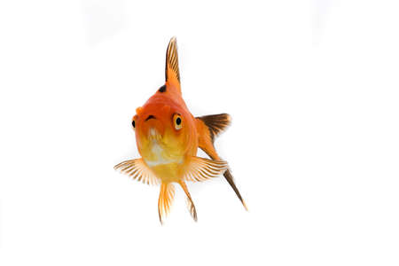 fishtank: High quality, isolated image of a goldfish on a white background