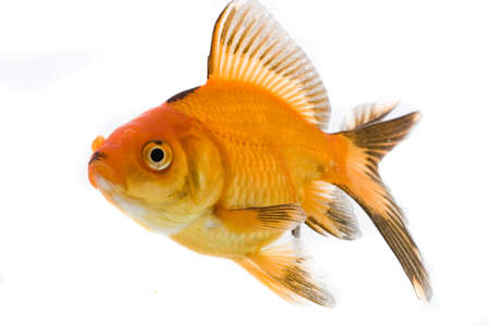 High quality, isolated image of a goldfish on a white background Stock Photo - 3866933