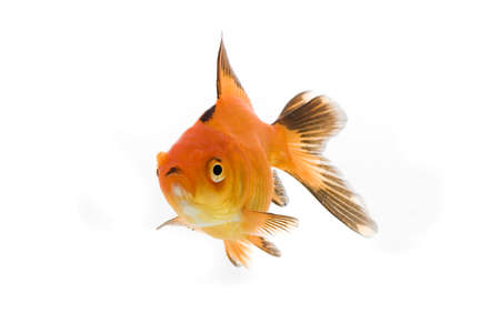 High quality, isolated image of a goldfish on a white background