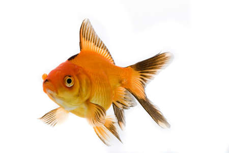 High quality, isolated image of a goldfish on a white background photo