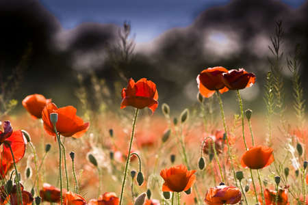 Field of red poppies photo