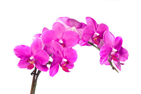 carpel:  Beautiful purple orchid