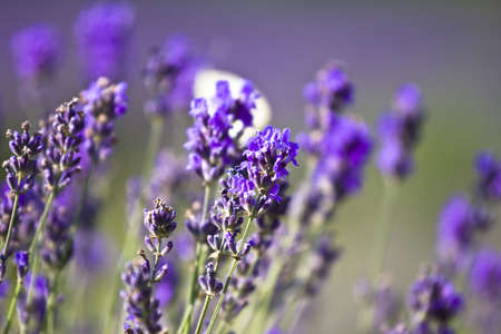 Lavender field Stock Photo - 5157132