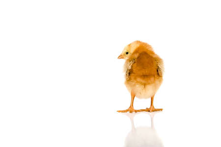 chicken photo