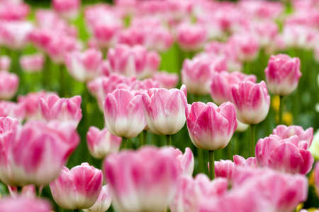 tulips in the garden photo