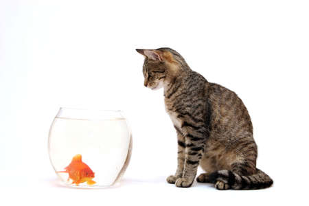 Home cat and a gold fish Stock Photo - 5867124