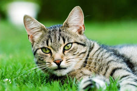 gato naranja: gato