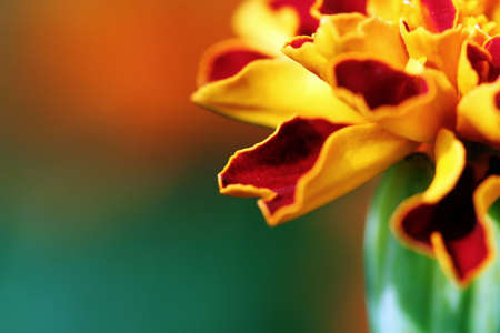 calceolaria: Flower in the garden Stock Photo