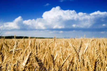 Wheat field Stock Photo - 5897377