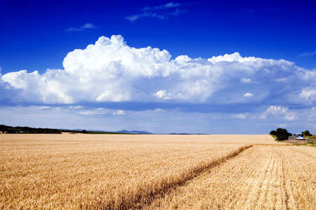 wheat field in summer Stock Photo - 5897306