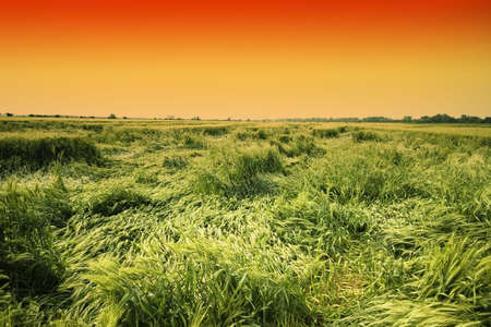 green wheat field and golden sky photo