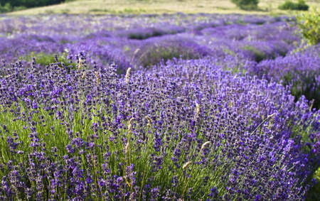 Lavender field in the summer  photo