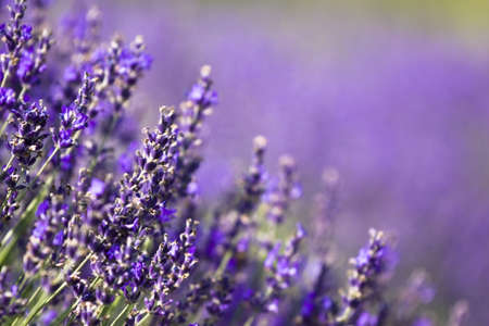 france perfume: Lavender field in the summer