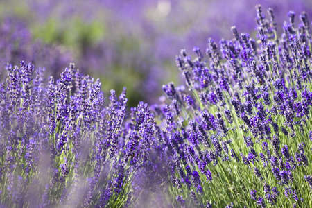 lavender fields: Lavender field in the summer