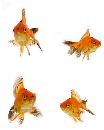 Goldfish collection isolated on white background  photo
