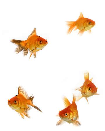 Goldfish collection isolated on white background Stock Photo - 6523711