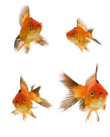 Goldfish collection isolated on white background Stock Photo - 6523782