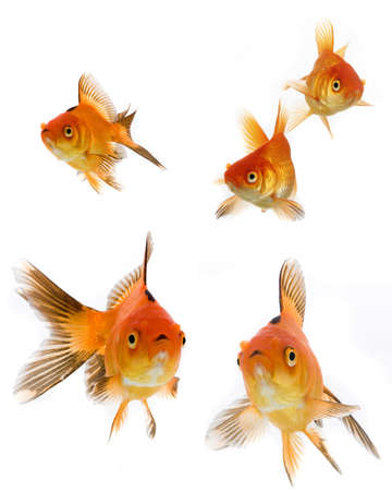 Goldfish collection isolated on white background Stock Photo - 6523710