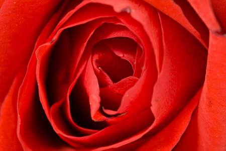 rose closeup photo