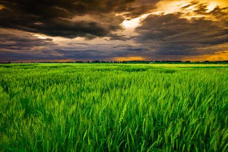 planta de maiz: Campo de trigo  Foto de archivo