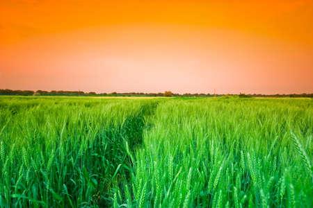 sunset wheat field  photo