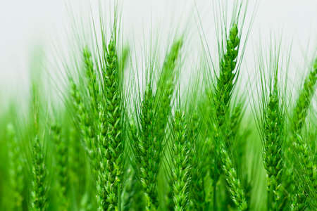 Green spring grains  photo