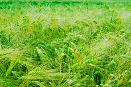 Green spring grains Stock Photo - 6831610
