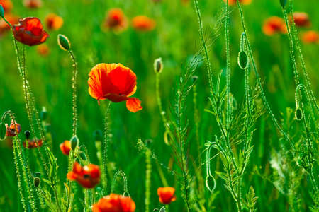 red poppies field photo