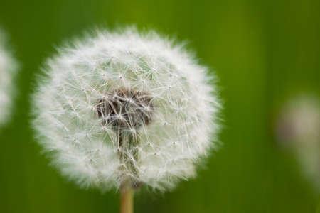 Taraxacum Flower  photo