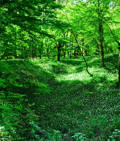 Wild garlic forest Stock Photo - 6936960