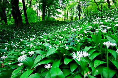 Wild garlic forest  photo