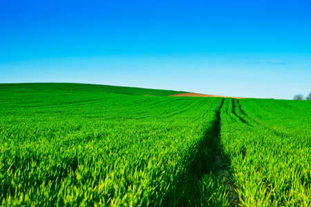 Green wheat fields with blue  photo