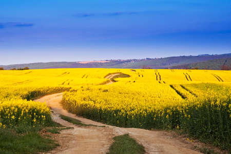 Way in rape field  photo