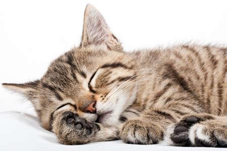 grey tabby: sleeping cat