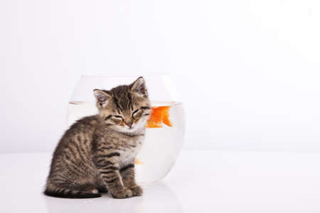 ggression: Home cat and a gold fish  Stock Photo