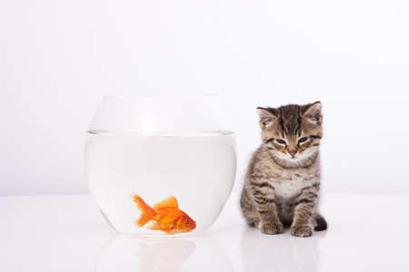 Home cat and a gold fish Stock Photo - 7243038