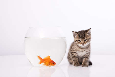 Home cat and a gold fish Stock Photo - 7243037