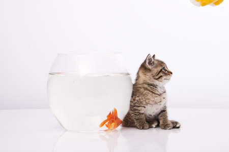 Home cat and a gold fish Stock Photo - 7243036
