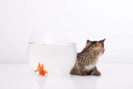 Home cat and a gold fish Stock Photo - 7242956