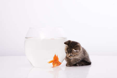 Home cat and a gold fish Stock Photo - 7242946