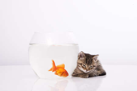 Home cat and a gold fish Stock Photo - 7242954
