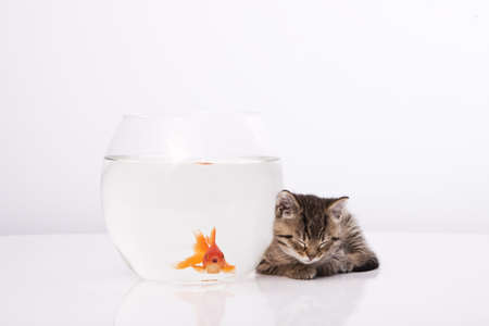 Home cat and a gold fish Stock Photo - 7242948